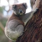 610px-Koala_climbing_tree