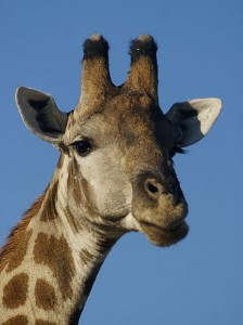 This is a Southern savanna giraffe close to Namutoni, Etosha, Namibia. Photo by Hans Hillewaert, via Wikimedia.